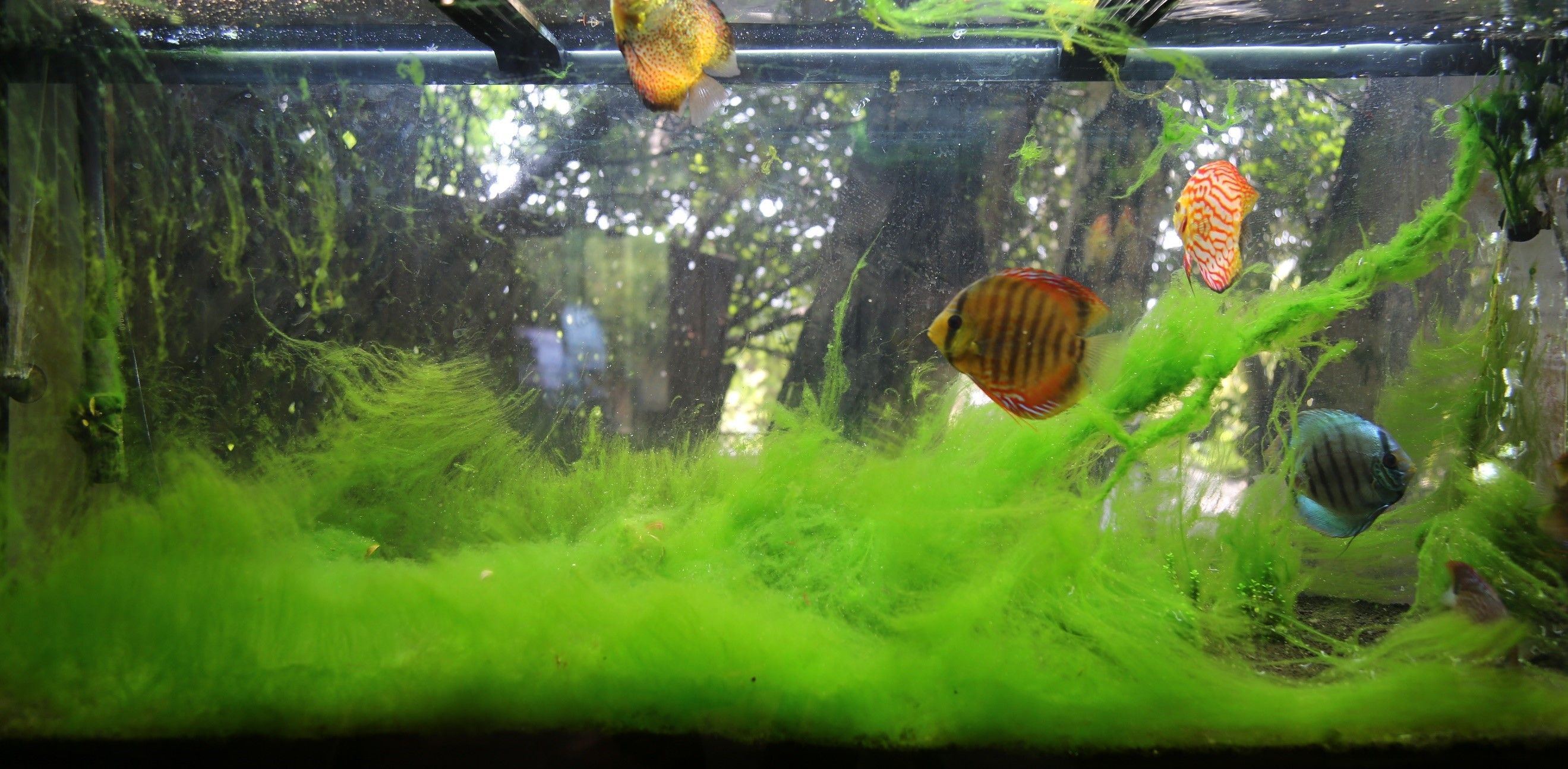 Hair Algae Epidemic Tropical Fish Forums,How To Grow Sweet Potatoes Indoors