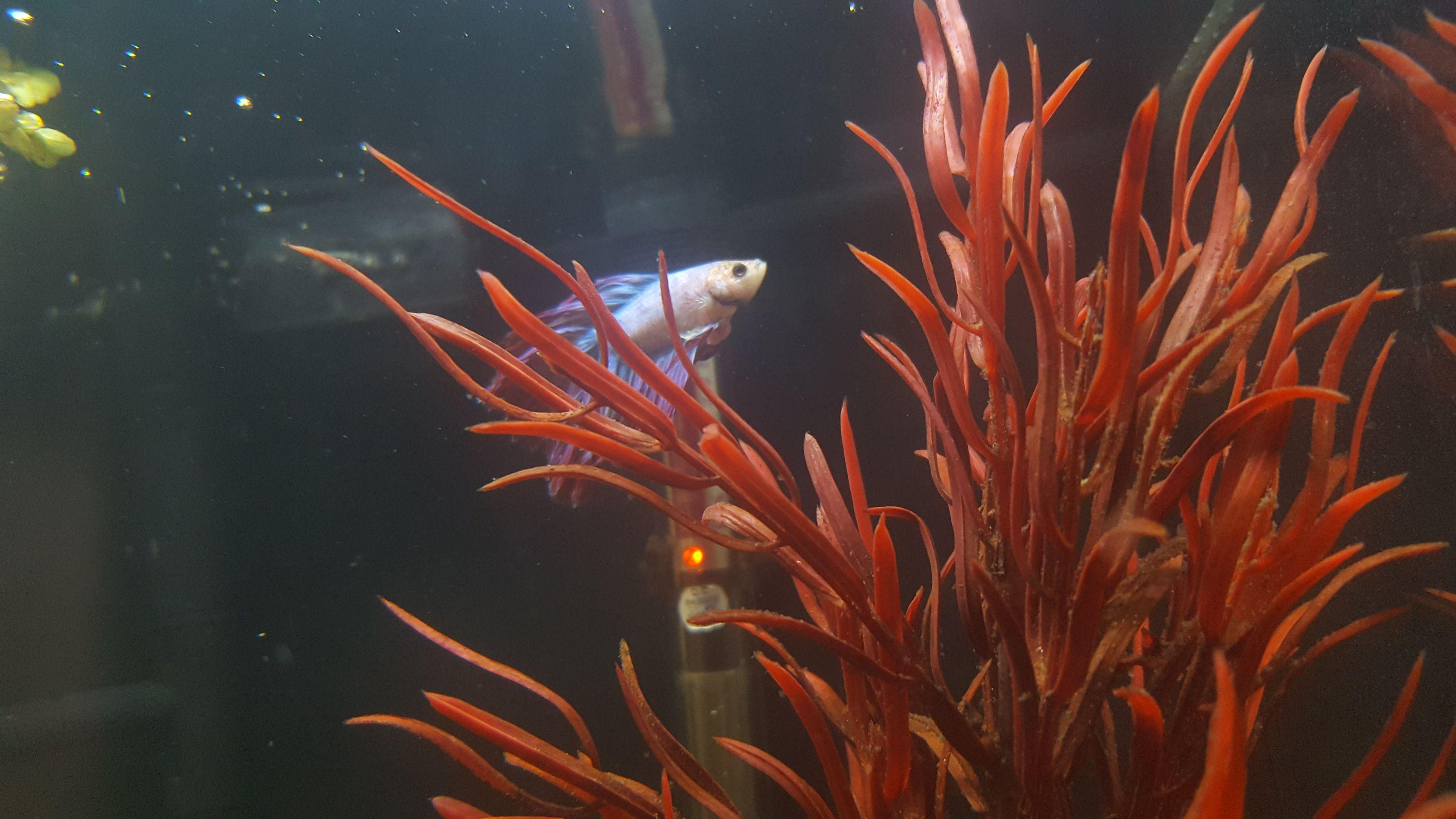 Strange lump on Betta | Tropical Fish Forums