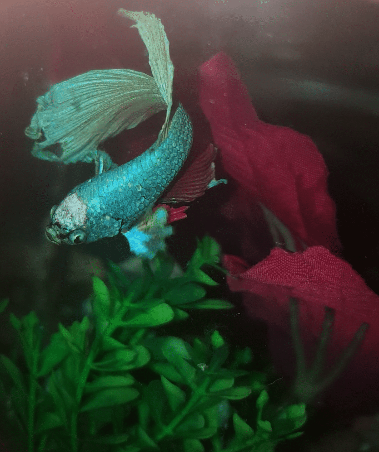 Scale loss on my betta? Pls help | Tropical Fish Forums