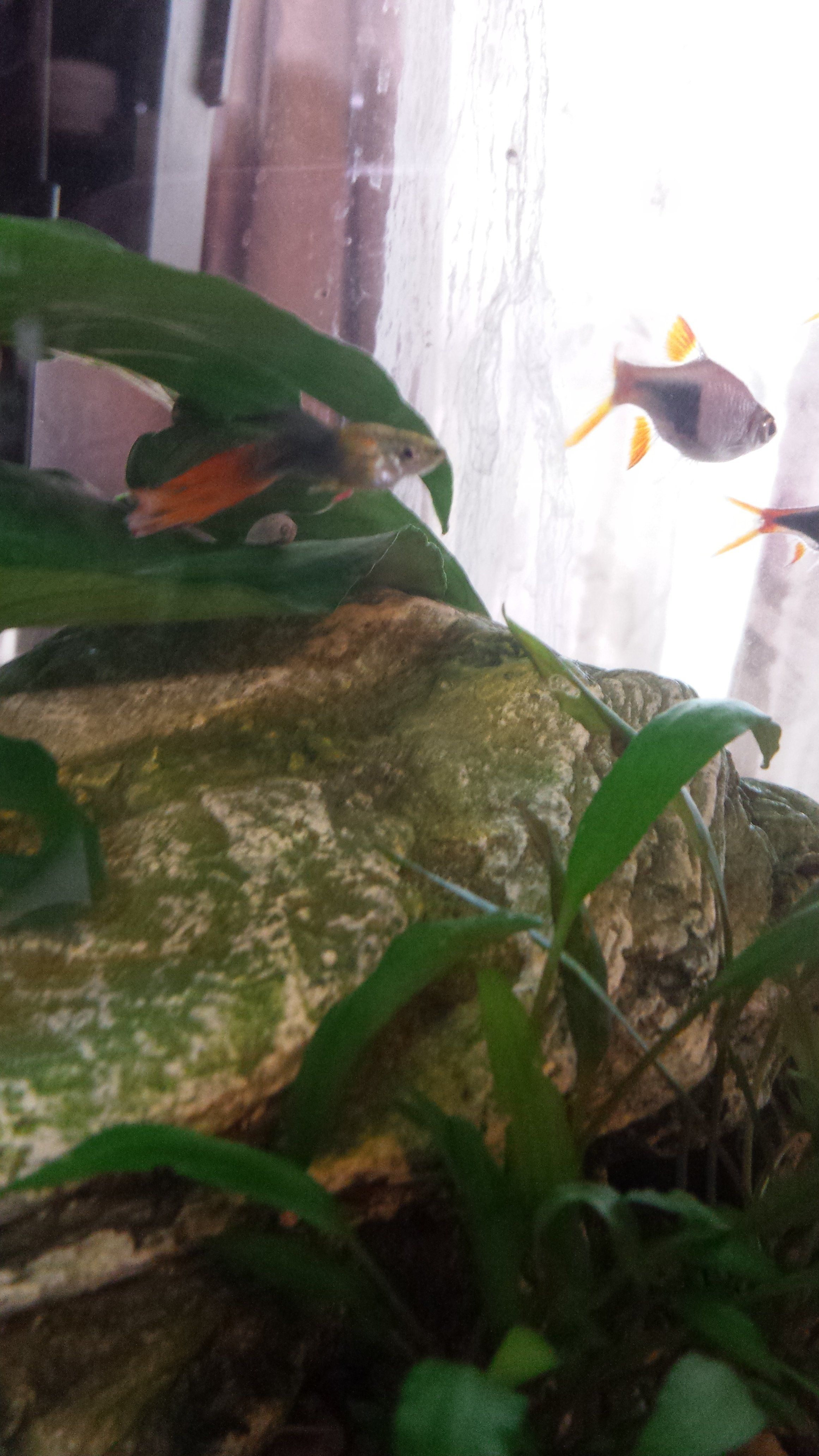 My guppy has thin, white poop  Is this parasites?   Tropical