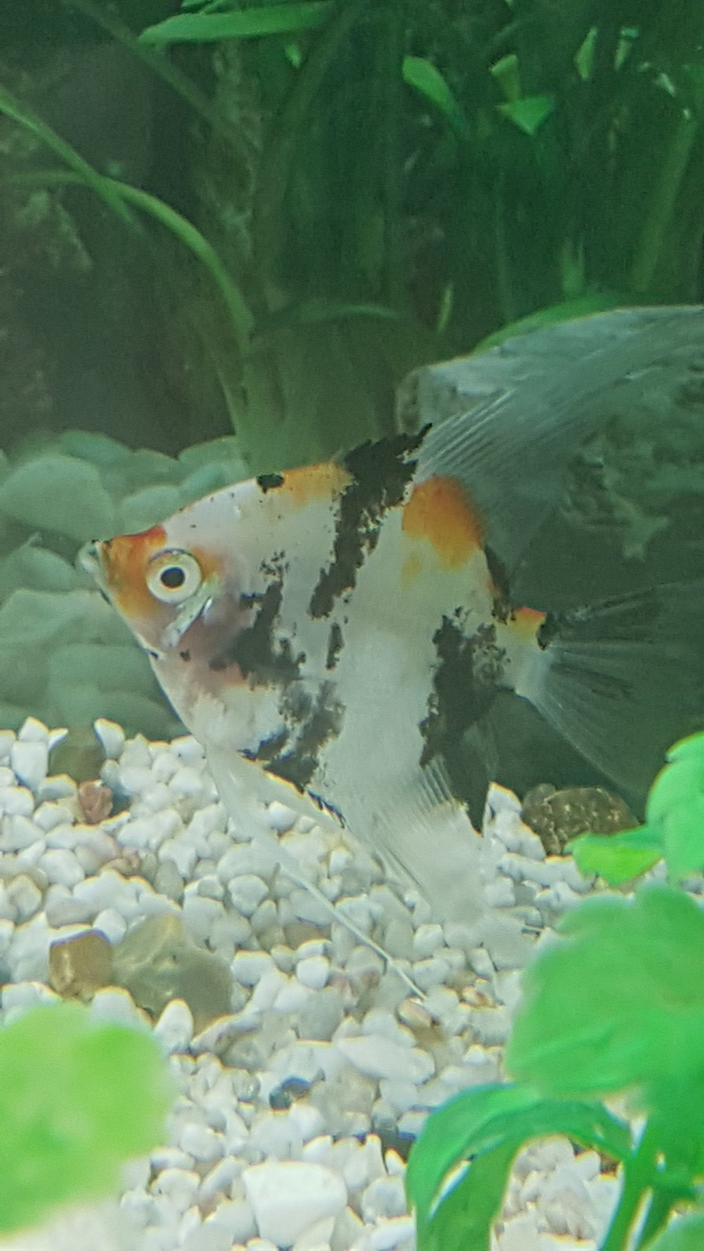 White Stringy Poop Fish Dying Tropical Fish Forums