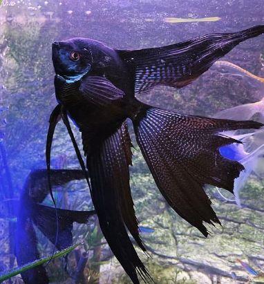 Black Zebra Lace Veiltail Angelfish.jpg