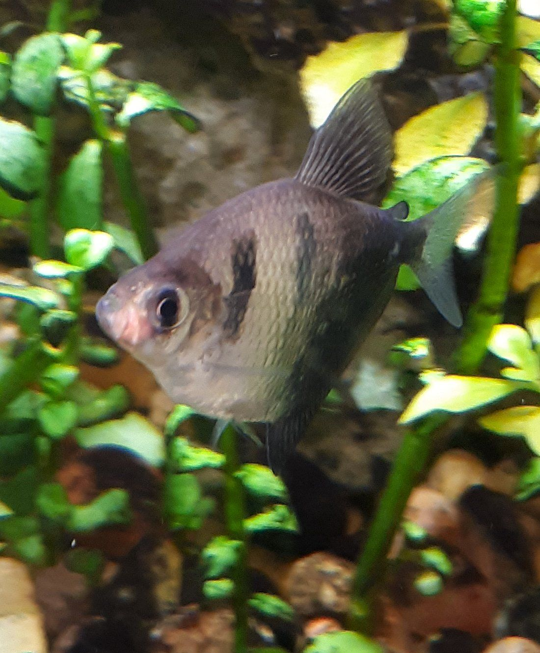 Black_Tetra_Mouth_Growth.jpg