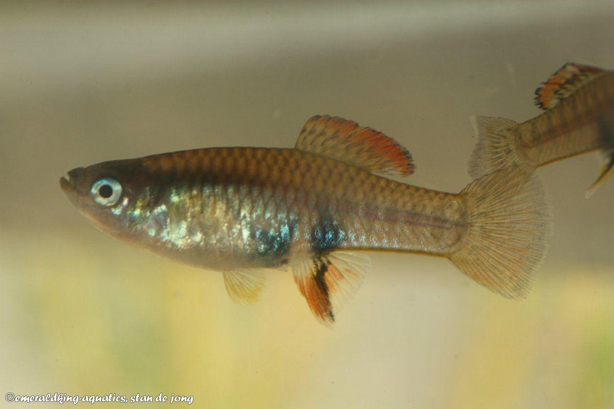brachyrhaphis roseni 036.jpg