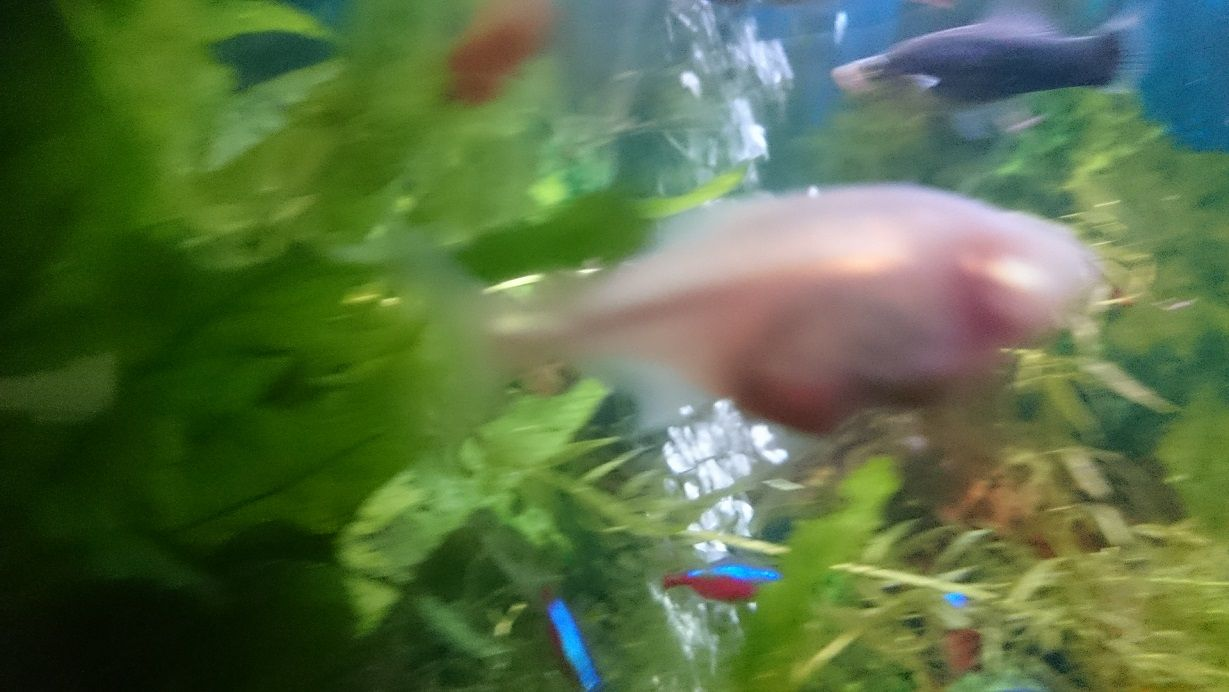 Blind Cave Tetra Pregnant Or Tumour Tropical Fish Forums