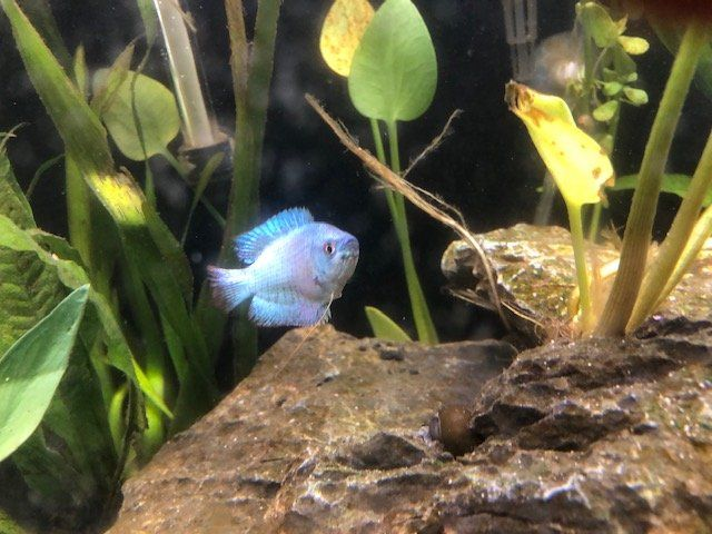 Fish - Powder Blue Goumii.JPG