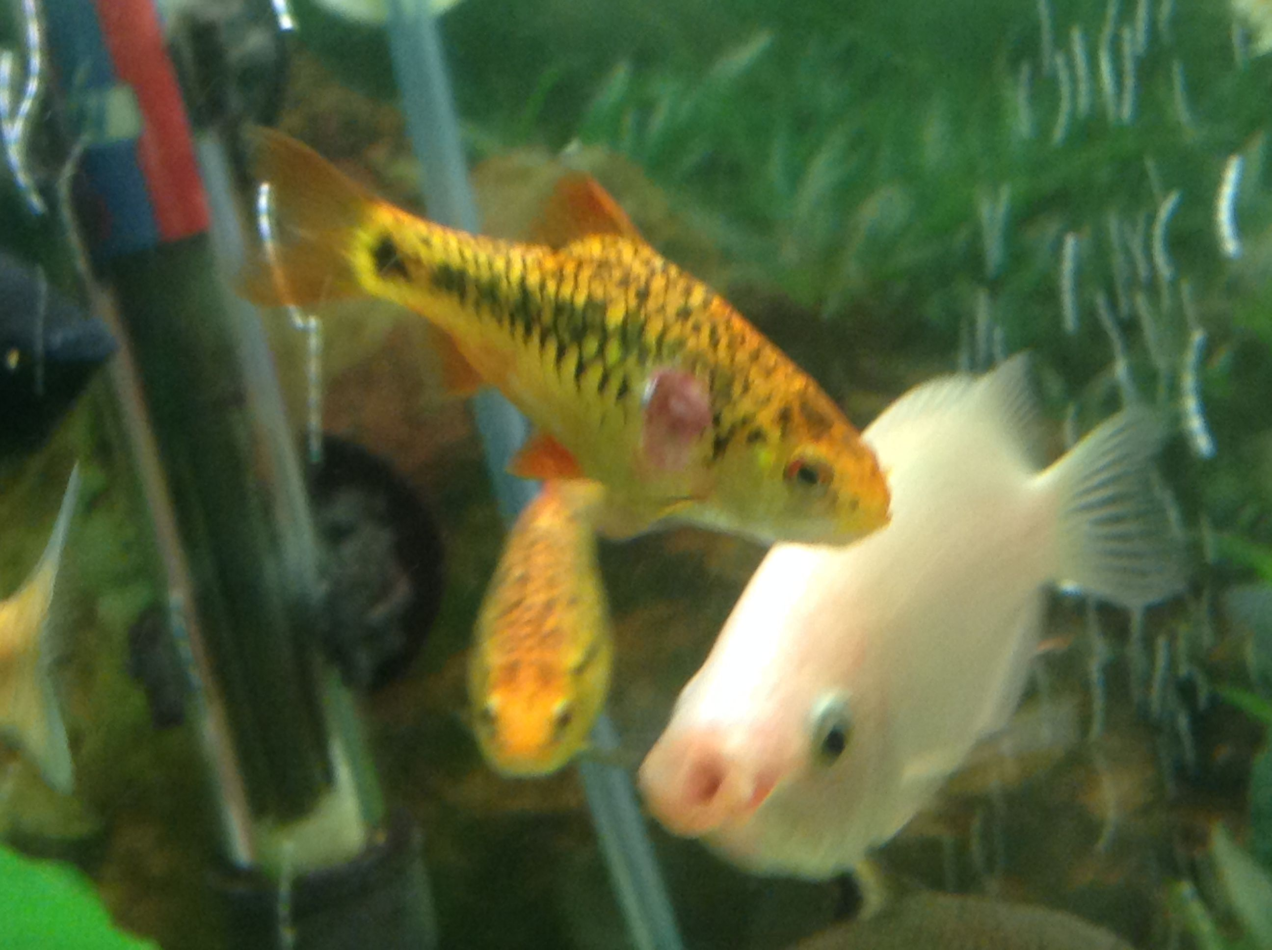 Help identifying this problem golden barb tropical fish for Jan s tropical fish