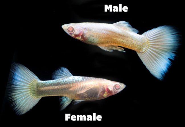guppy-fish-male-female-photo.jpg