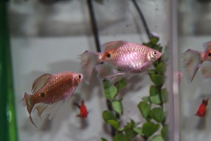 Rosy Barb Pregnant Tropical Fish Forums