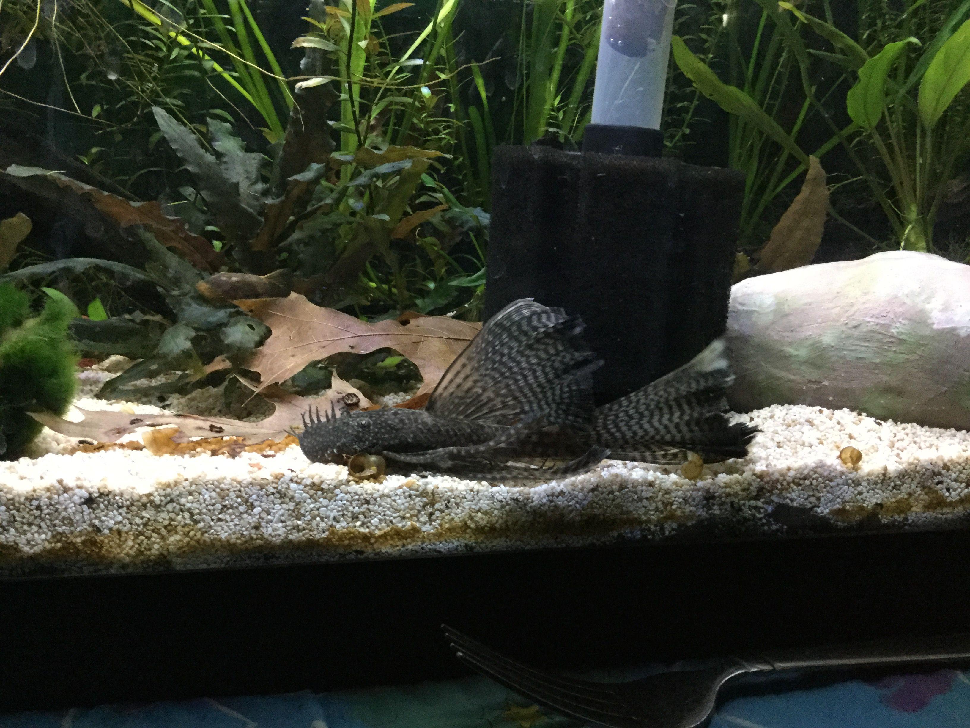 Breeding/Raising Bristlenose Plecos | Tropical Fish Forums