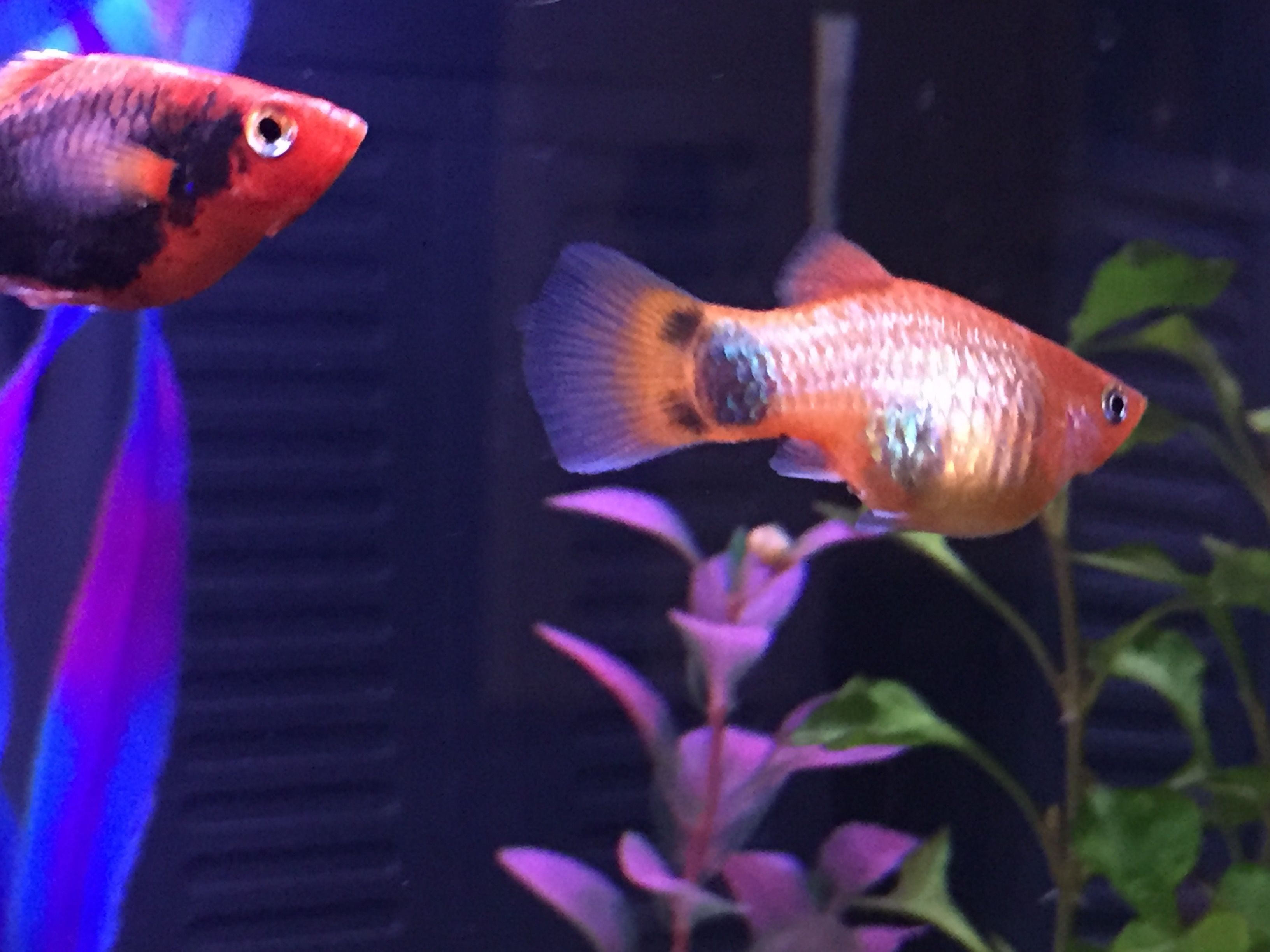 Single white spot appeared on pregnant platy | Tropical Fish