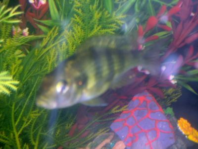 White Cotton Like Stuff On Mouth   Tropical Fish Forums