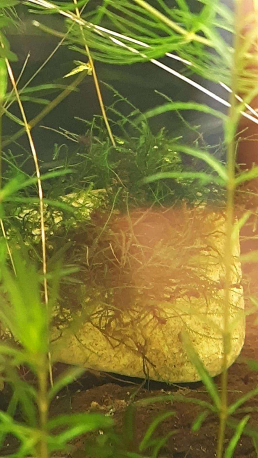 java moss algae.JPEG