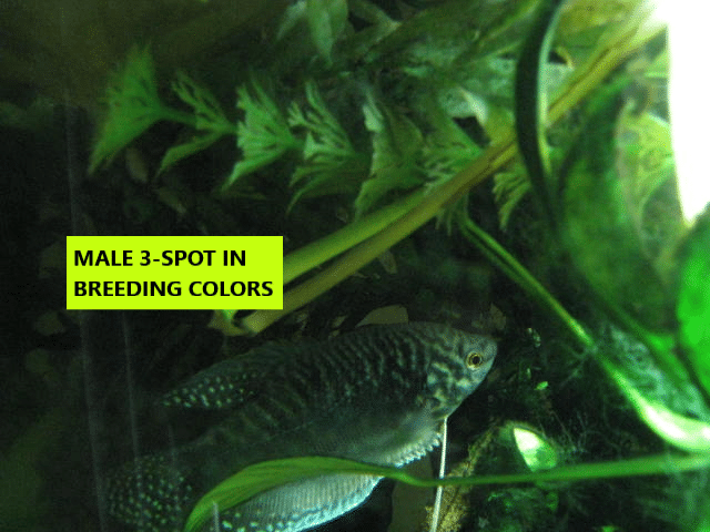 MALE IN BREEDING COLORS.png