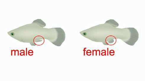 molly-guppy-fin-diagram.jpg