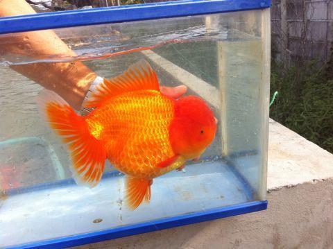 oranda-goldfish.jpg