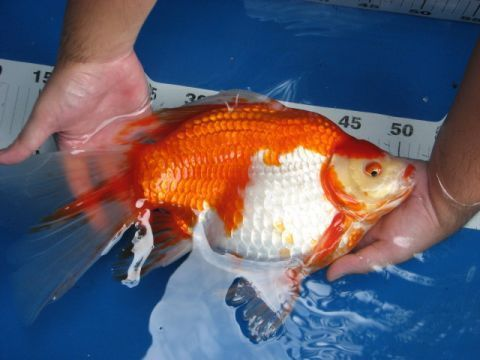 Goldfish for beginners tropical fish forums for Koi fish pond for beginners