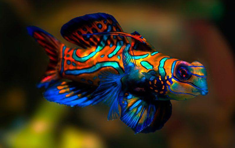 pez-mandarin.jpg