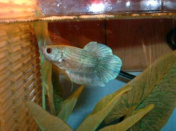 What is a typical betta/plakat size | Tropical Fish Forums