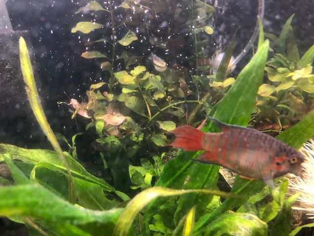 Red and Blue Gourami = male.jpg