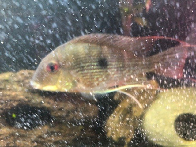 Unknown Cichlid.jpg