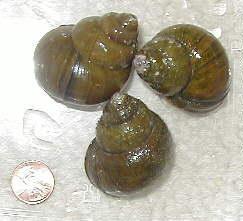 cipangopaludina_chinensis1.jpg