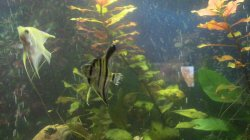 Fraying Tails   Now Slime!?   Tropical Fish Forums